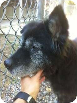 Chow Chow/Labrador Retriever Mix Dog for adoption in Houston, Texas - GEMMA