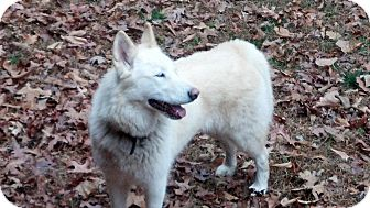 Husky Mix Dog for adoption in Windham, New Hampshire - Lakoda