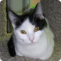 Domestic Shorthair Cat for adoption in Fenton, Missouri - Adrianna