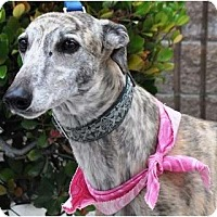 Adopt A Pet :: Shelya - Rancho Santa Margarita, CA