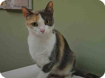 Domestic Shorthair Cat for adoption in New York, New York - Princess Amy