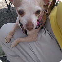 Chihuahua Dog for adoption in Columbus, Ohio - Peanut