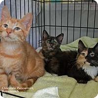 Adopt A Pet :: Peppermint - Merrifield, VA