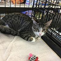 Adopt A Pet :: Heidi - Gilbert, AZ