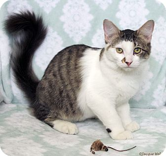 Domestic Longhair Cat for adoption in St Louis, Missouri - Freckle