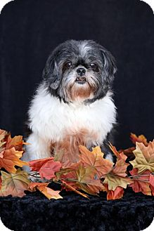 Shih Tzu Dog for adoption in SAN PEDRO, California - Miss Mandi