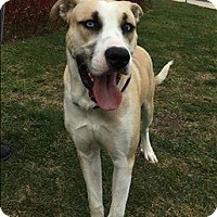 Siberian Husky/Pit Bull Terrier Mix Dog for adoption in Columbus, Ohio - Maximus