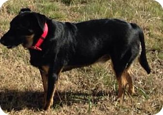 German Shepherd Dog/Labrador Retriever Mix Dog for adoption in Dripping Springs, Texas - Nigel-Referral