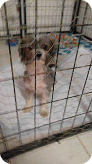 Yorkie, Yorkshire Terrier/Maltese Mix Dog for adoption in Big Spring, Texas - London