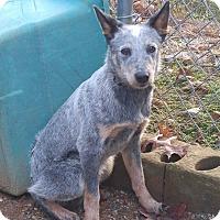 Adopt A Pet :: Critter - Bryson City, NC