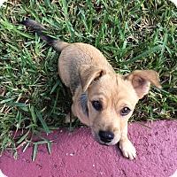 Adopt A Pet :: Presley - Hialeah, FL