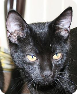 Domestic Shorthair Kitten for adoption in Winchester, California - Zorro
