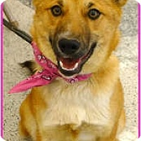Adopt A Pet :: Foxy good with cats, therapy d - Sacramento, CA