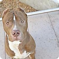 Adopt A Pet :: Paul - Des Peres, MO