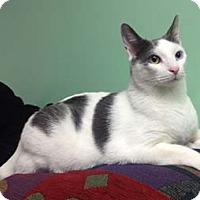 Adopt A Pet :: Mercy - Merrifield, VA