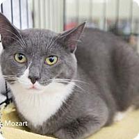 Adopt A Pet :: Mozart - Merrifield, VA