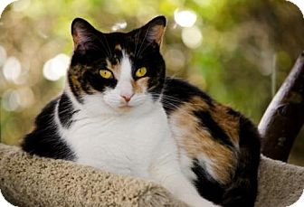 Domestic Shorthair Cat for adoption in Atlanta, Georgia - Merryweather 13406