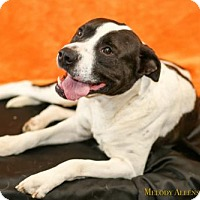 American Pit Bull Terrier Dog for adoption in West Orange, New Jersey - Chevy