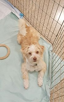Maltese/Terrier (Unknown Type, Small) Mix Dog for adoption in Temecula, California - Kringle