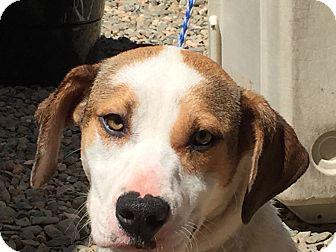 Hound (Unknown Type)/Terrier (Unknown Type, Medium) Mix Dog for adoption in Sacramento, California - Ivory!