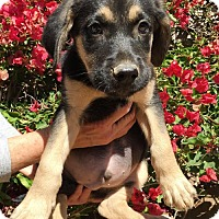 Adopt A Pet :: Smuckers Pup - Blackberry - San Diego, CA