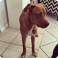 Adopt A Pet :: Rockerfellow *COURTESY LIST* - Sarasota, FL