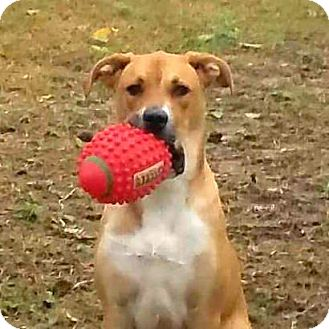 Black Mouth Cur/Great Dane Mix Dog for adoption in Austin, Texas - Chulo