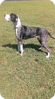Great Dane Dog for adoption in Franklin, Tennessee - Holly