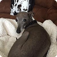 Italian Greyhound Dog for adoption in Argyle, Texas - Maximus in San Antonio