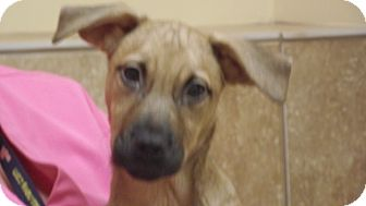 Shepherd (Unknown Type) Mix Puppy for adoption in Appleton, Wisconsin - Abby