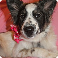 Australian Shepherd Mix Puppy for adoption in Hagerstown, Maryland - Sparkles (has been adopted)