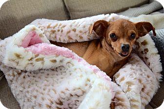Chihuahua Mix Dog for adoption in Columbus, Ohio - KayKay