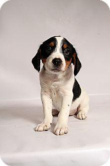 Beagle/Spaniel (Unknown Type) Mix Puppy for adoption in St. Louis, Missouri - Topaz Beaglemix