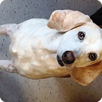 Hound (Unknown Type) Mix Dog for adoption in Raleigh, North Carolina - Oatmeal