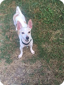 Chihuahua/Rat Terrier Mix Dog for adoption in sugar land, Texas - Donner