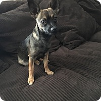 Chihuahua Mix Puppy for adoption in Santee, California - Zoe