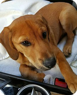 Rhodesian Ridgeback/Beagle Mix Puppy for adoption in Kenner, Louisiana - Jackpot