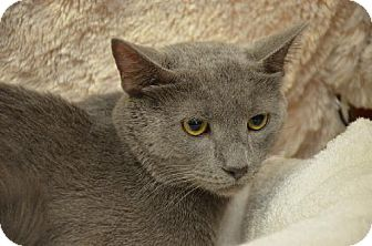 Russian Blue Cat for adoption in NYC, New York - Dino