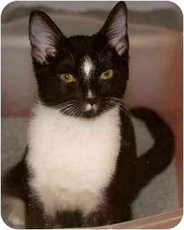 Domestic Shorthair Kitten for adoption in Woodstock, Georgia - Jellybean