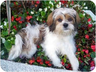 shih tzu mix with pekingese mcdreamy adopted puppy los angeles ca shih tzu 9390