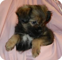 Sheltie, Shetland Sheepdog Mix Puppy for adoption in Antioch, Illinois - Eve's Babies ADOPTED!!