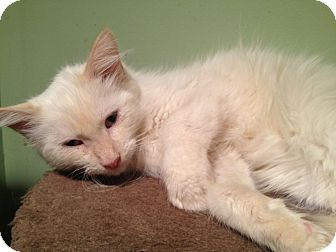 Where To Adopt A Persian Cat In Nj