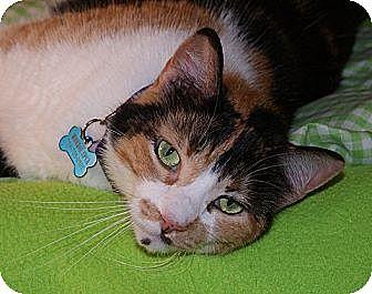 Domestic Mediumhair Cat for adoption in Monroe, Michigan - Chloe