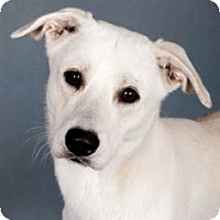 Adopt A Pet :: Percy - Chicago, IL