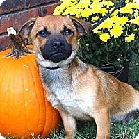 Adopt A Pet :: *Comet - PENDING - Westport, CT