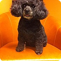 Adopt A Pet :: Peggy - Vaudreuil-Dorion, QC