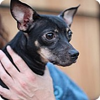 Adopt A Pet :: Rocco - Justin, TX