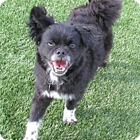 Adopt A Pet :: Buddy Boy - House Springs, MO