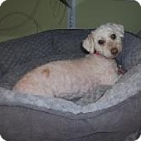 Adopt A Pet :: Princess Leah - Shawnee Mission, KS