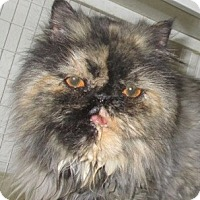 Adopt A Pet :: Cricket - Gilbert, AZ